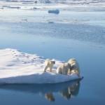 Polar bears: Doing fine, sunshine.